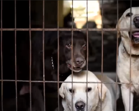 Despite Pressure To End Wildlife-Trade, Chinese Dog Meat Feast Going Strong