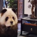 A Viral Video Of 'Panda' Taken For A Walk Sparks Outrage But Truth Left People In Shock
