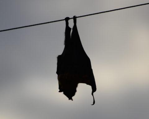 A dead bat